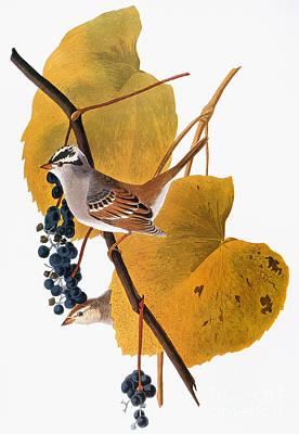 White-crowned Photograph - Audubon: Sparrow by Granger