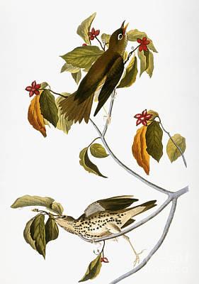Artflakes Photograph - Audubon: Thrush by Granger