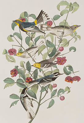 Warbler Drawing - Audubons Warbler Hermit Warbler Black-throated Gray Warbler by John James Audubon