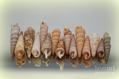 Photograph - Auger Shells by Patti Whitten