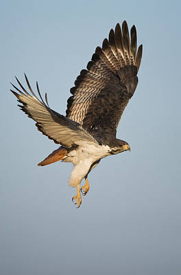 Buzzard Photograph - Augur Buzzard Buteo Augur Flying by Panoramic Images
