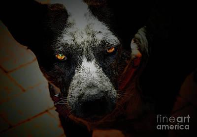Cattle Dog Photograph - Australian Cattle Dog by Steven  Digman