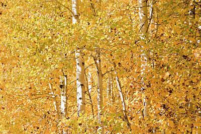 autumn aspen leaves Populus tremuloides Print by Ed Book
