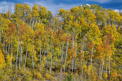 Autumn Aspen Tree Forest Layers Of Colors Print by James BO  Insogna