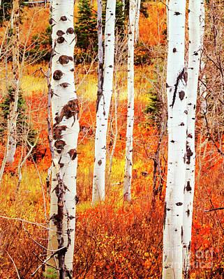 Aspen Photograph - Autumn Aspens by David Millenheft