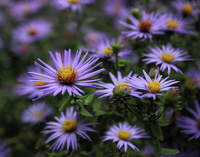 Aster Photograph - Autumn Asters by Jessica Jenney