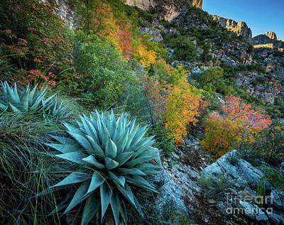 Guadalupe Photograph - Autumn Century Plants by Inge Johnsson