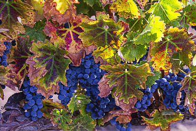 Vines Photograph - autumn Grapes by Garry Gay