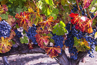 Vines Photograph - Autumn Grapes Harvest by Garry Gay