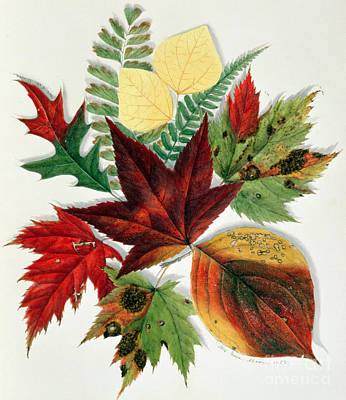 Leaf Drawing - Autumn Leaves by Nina Moore