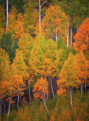 Aspen Tree Fall Colors Photograph - Autumn Trees by Darren White