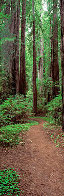 The Pathway Photograph - Avenue Of The Giants Rockefeller Grove by Panoramic Images