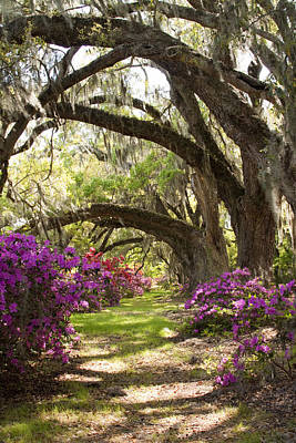 Plantation Photograph - Azaleas And Live Oaks At Magnolia Plantation Gardens by Dustin K Ryan