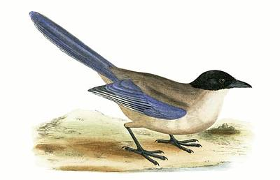 Magpies Drawing - Azure Winged Magpie by English School