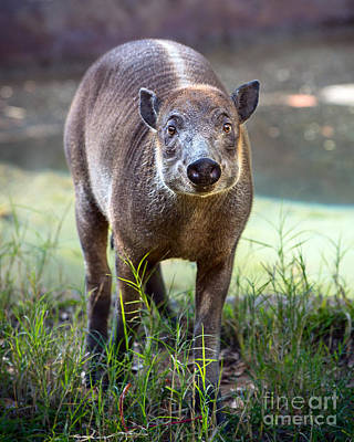 Babirusa Youngster Print by Jamie Pham