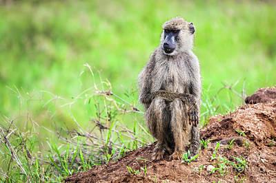 Wild Animals Photograph - Baboon Monkey In African Bush. Safari In Tsavo West, Kenya by Michal Bednarek