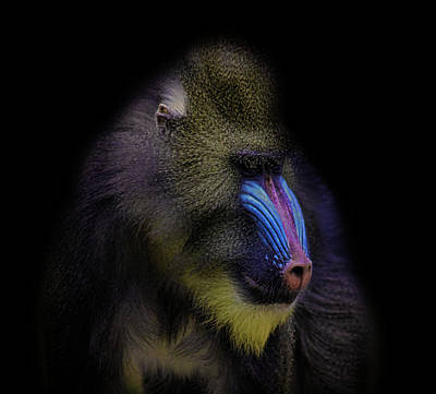 Monkey Photograph - Baboon Portrait by Martin Newman