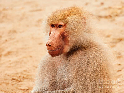 Baboon Sitting In The Early Evening Sun Print by Nick  Biemans