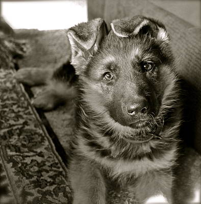 German Shepherd Dogs Photograph - baby Alexis by Karon Melillo DeVega
