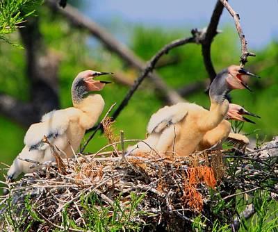 Baby Anhinga Chicks Original by Barbara Bowen