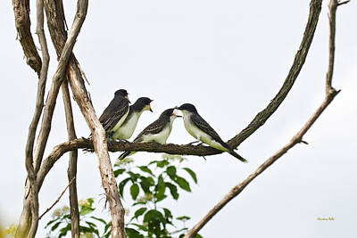 Baby Birds - Eastern Kingbird Family Print by Christina Rollo