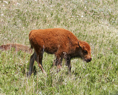 Animal Photograph - Baby Bison by Pamela Peters