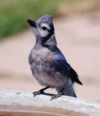 Baby Bluejay Photograph - Baby Blue by DiDi Higginbotham