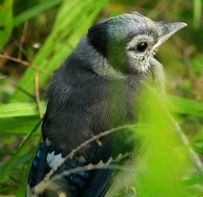 Baby Bluejay Photograph - Baby Bluejay 1 by Shelley Wilson