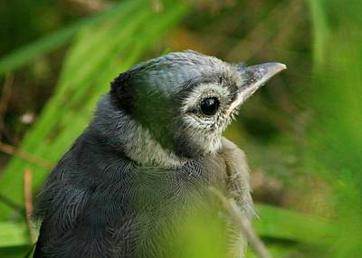 Baby Bluejay Photograph - Baby Bluejay2 by Shelley Wilson