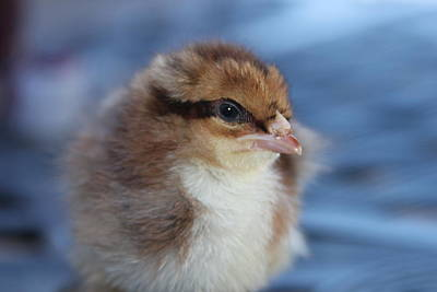 Baby Chicken Print by Angie Wingerd