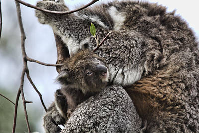 Koala Photograph - Baby Koala V2 by Douglas Barnard