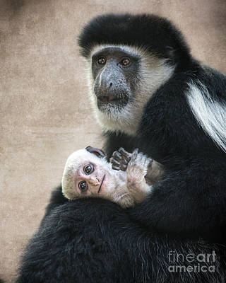 Colobus Photograph - Baby On Lap by Jamie Pham