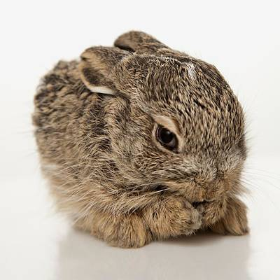 Photograph - Baby Rabbit Cleaning Himself by Leah Hammond