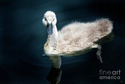 Swan Photograph - Baby Swan by David Millenheft