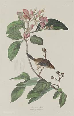 Finch Drawing - Bachman's Finch by John James Audubon