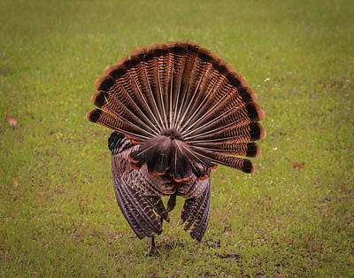 Gobble Photograph - Back View by Zina Stromberg