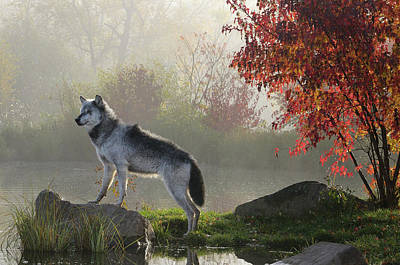Dog Photograph - Backlit Alpha Timber Wolf Standing On Rock Over Water In The Mis by Reimar Gaertner