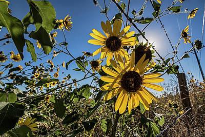 Sunflower Photograph - Backlit Sunflower 3 by Dave Dilli