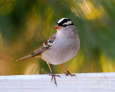 Sparrow Photograph - Backyard Bird - White-crowned Sparrow by Kerri Farley