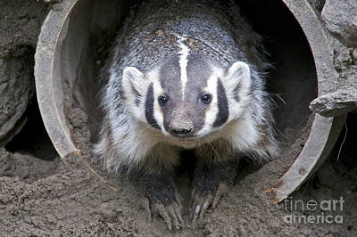 Sean Photograph - Badger by Sean Griffin
