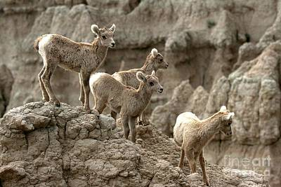 Big Horn Sheep Photograph - Badlands Bandits by Adam Jewell
