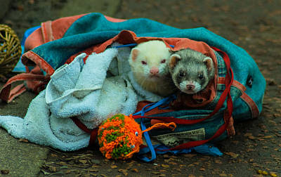 Bag Of Ferrets Print by Andy Blakey
