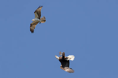 Eagle Photograph - Bald Eagle Flies Upside-down by Phil Stone
