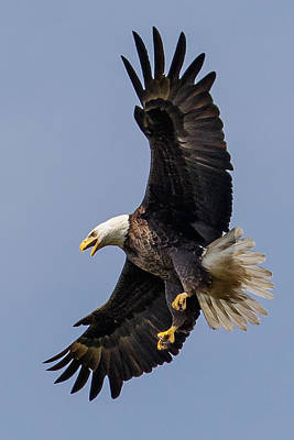 Eagle Photograph - Bald Eagle Flyer by Phil Stone