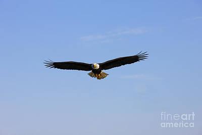 Bald Eagle Flying Print by John Hyde - Printscapes