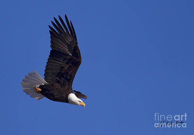 Bald Eagle In Flight-signed #1198 Original by J L Woody Wooden