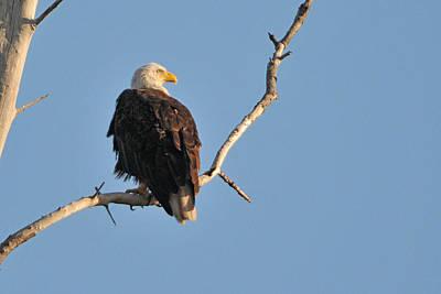 Bald Eagle On Perch Original by Alan Lenk