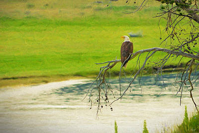 Bald Eagle Over The Yellowstone River Print by Greg Norrell