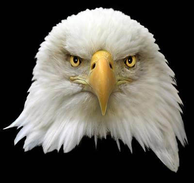 Birds Photograph - Bald Eagle by Shane Bechler