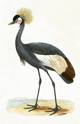 Crane Drawing - Balearic Crane by English School